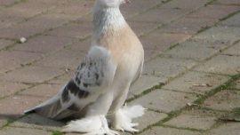 Güvercin temizliği nasıl sağlanır